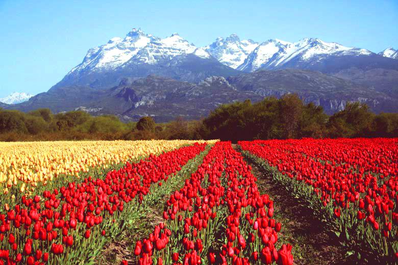 Trevelin y la magia de los tulipanes en flor